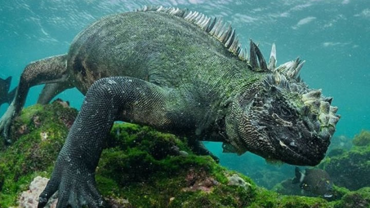 A smug looking Marine Iguana (Screencap from David Attenborough's Planet Earth II).