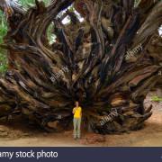 Sequoia_wgjwa4