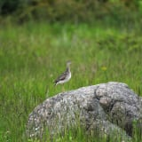 Upland Sandpiper on a rock