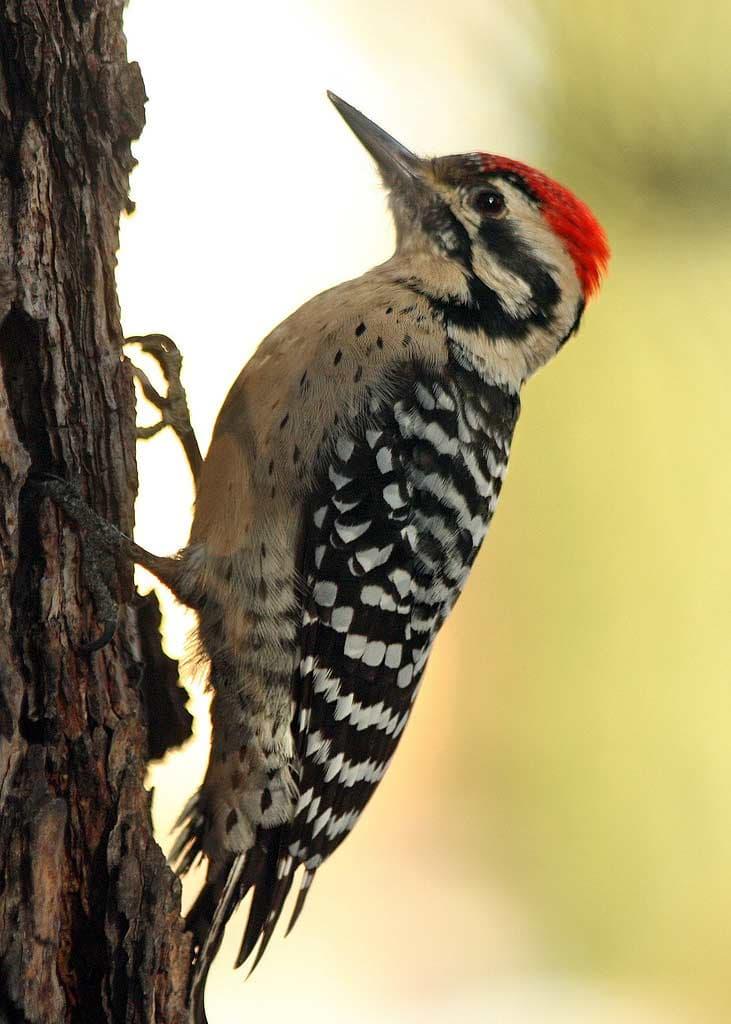 Ladder-backed Woodpecker - eBirdr
