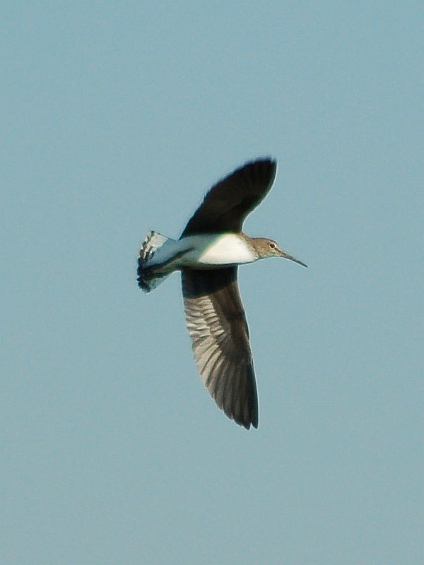 Green sandpiper flight - photo#28