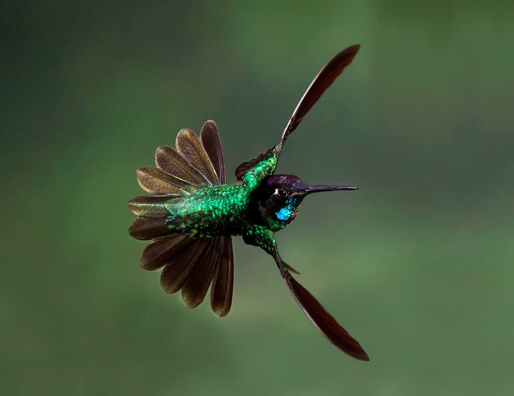 Magnificent Hummingbird Ebirdr