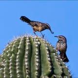 Cactus Wren on a cactus