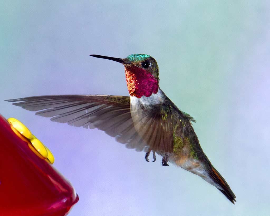 Broad Tailed Hummingbird Ebirdr