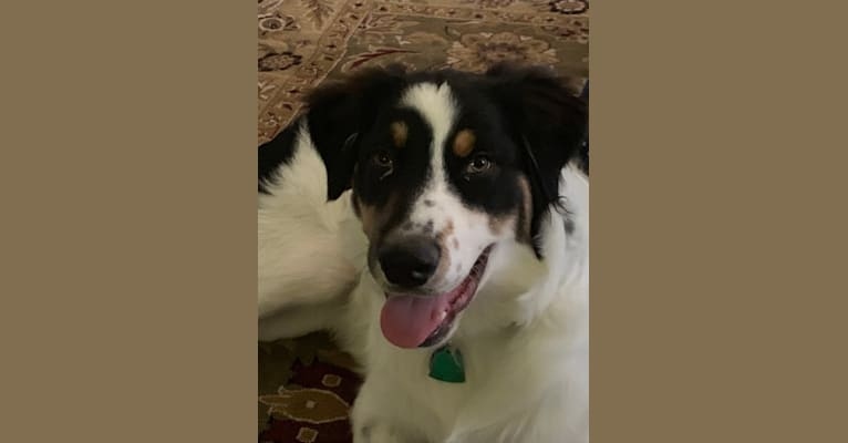 Photo of Fergus, an Australian Shepherd Group  in Sacramento, CA, USA