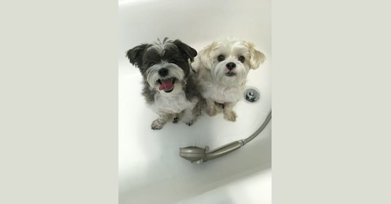 Photo of Booger, a Maltese, Shih Tzu, and Yorkshire Terrier mix in 155 White Lane, Morris Chapel, TN, USA