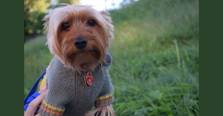 Photo of Bobbin Ray, a Yorkshire Terrier
