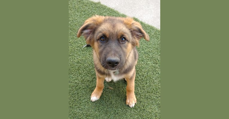 Photo of Woody, an Australian Shepherd, German Shepherd Dog, Chow Chow, Collie, and Mixed mix
