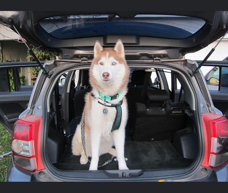 Photo of Leo, a Siberian Husky  in Mio, MI, USA