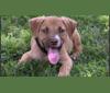 Photo of Bandit, a Labrador Retriever, American Pit Bull Terrier, and Dalmatian mix