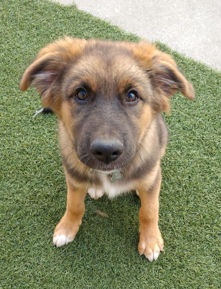 Photo of Woody, an Australian Shepherd, German Shepherd Dog, Chow Chow, Collie, and Mixed mix