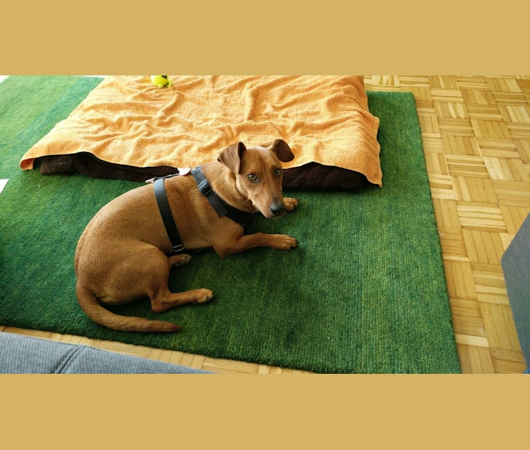Photo of Mr. T, a Russell-type Terrier, Dachshund, and Pomeranian mix in Hongrie