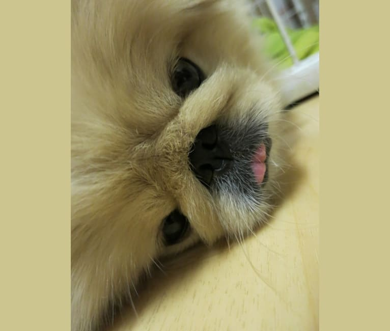 Photo of Momo, a Pekingese  in Berkeley, California, USA