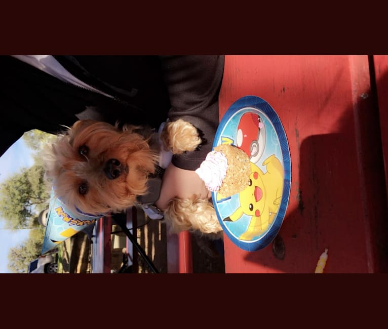 Photo of Banjo, a Yorkshire Terrier, Pomeranian, and Poodle (Small) mix in Austin, Texas, USA