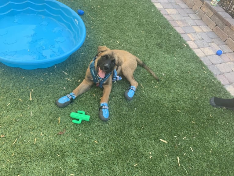 Photo of Diego, a Mastiff, German Shepherd Dog, and American Pit Bull Terrier mix in Las Vegas, NV, USA