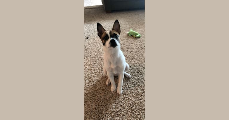 Photo of Fin, a Rat Terrier and Australian Cattle Dog mix in Minot, North Dakota, USA