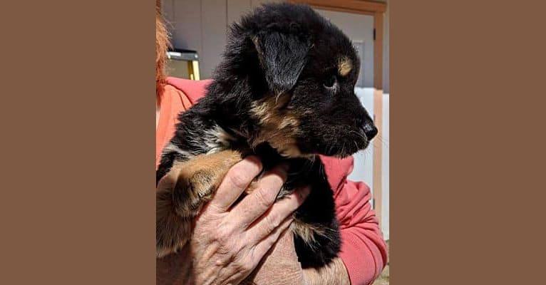 Photo of Winston, an Akita, Labrador Retriever, Chow Chow, and American Pit Bull Terrier mix in Yavapai County, AZ, USA