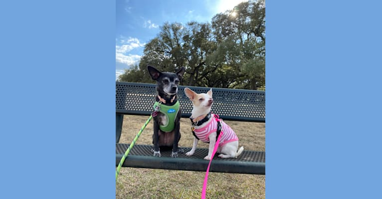Photo of Penny, a Pug, Poodle (Small), Miniature Schnauzer, and Mixed mix in Leander, Texas, USA