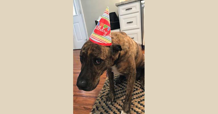 Photo of Bentley, an American Pit Bull Terrier, Rottweiler, German Shepherd Dog, Labrador Retriever, and Mixed mix in Arizona, USA