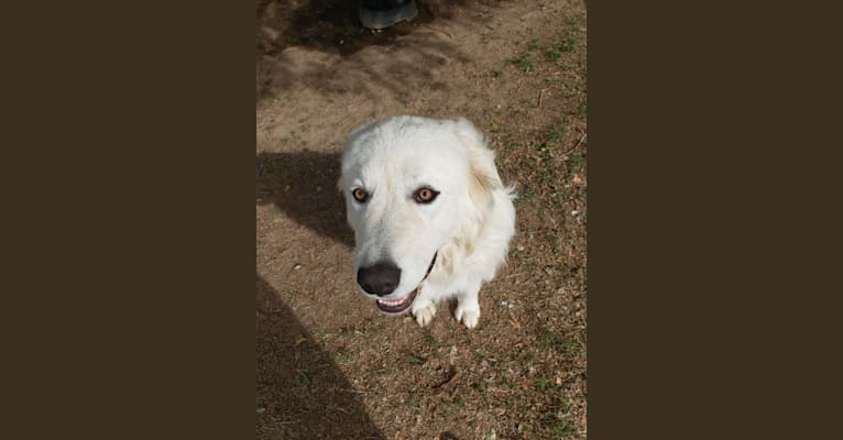 Photo of Aragorn, a Maremma Sheepdog  in Golden Spiral Icelandics, Langabeer Road, Oakville, Washington, USA
