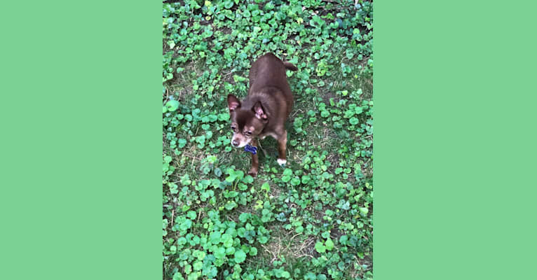 Photo of Cooper, a Chihuahua, Miniature Pinscher, and Pomeranian mix in Fort Wayne, IN, USA