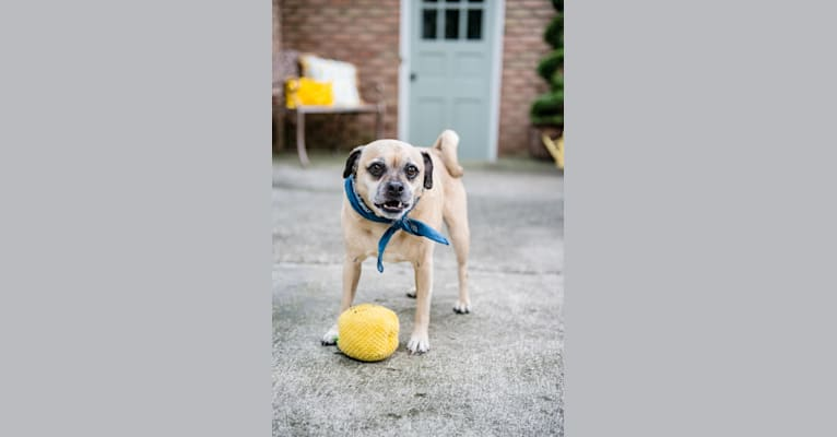 Photo of Zeus, a Pug and Rat Terrier mix in Bloomfield Twp, Michigan, USA