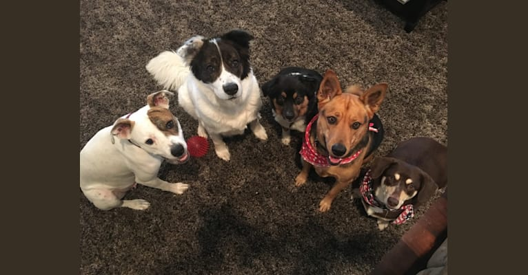 Photo of Lola, a German Shepherd Dog, American Pit Bull Terrier, and Rottweiler mix in San Diego, California, USA