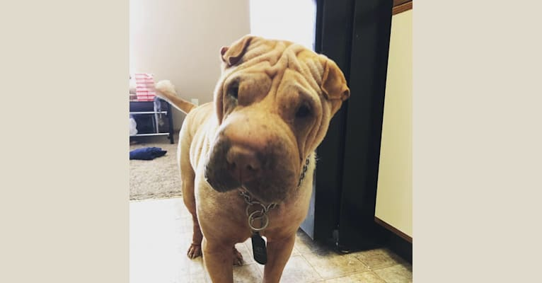 Photo of Zaid, a Chinese Shar-Pei  in Columbus, Indiana, USA