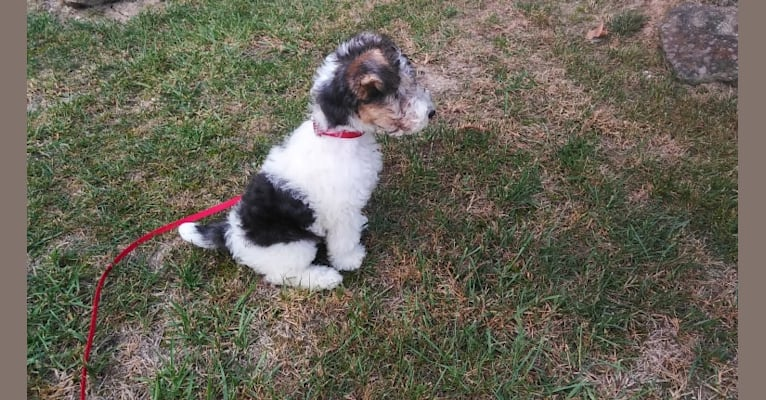 Photo of Maggie, a Wire Fox Terrier  in Bloomfield, IA, USA