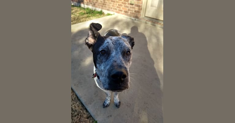 Photo of Riker, an American Pit Bull Terrier, German Shepherd Dog, American Staffordshire Terrier, and Akita mix in Dallas, Texas, USA