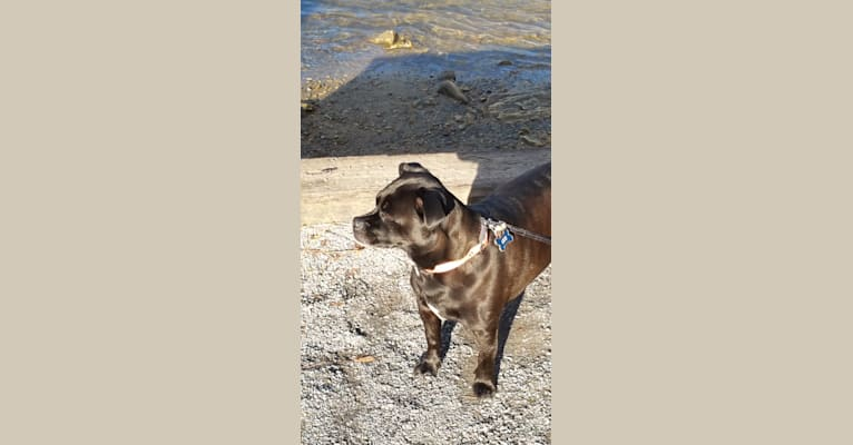 Photo of Leo, a Boston Terrier, Pekingese, Staffordshire Terrier, Lhasa Apso, and Mixed mix in Butler, Tennessee, USA