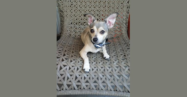 Photo of Ada, a Chihuahua, Poodle (Small), Dachshund, and Mixed mix in Austin, Texas, USA