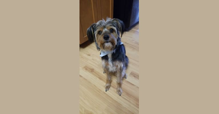 Photo of Nash, a Biewer Terrier  in Edwardsville, Illinois, USA