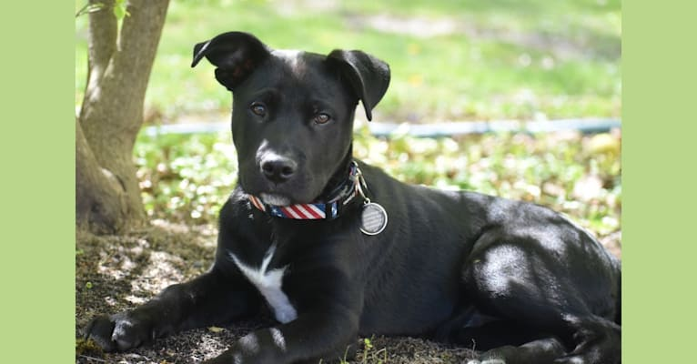Photo of Mooshie, an American Pit Bull Terrier, German Shepherd Dog, and Australian Cattle Dog mix in Kentucky, USA