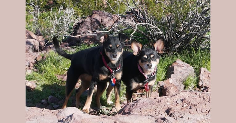 Photo of Lilah Chicken Ham, a Miniature Pinscher, Poodle (Small), Chihuahua, and Mixed mix in Sacramento, California, USA