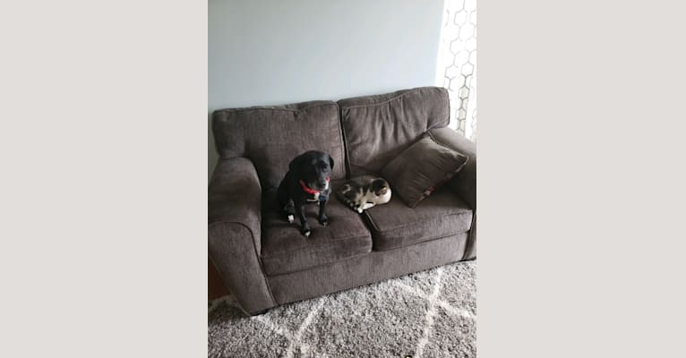 Photo of Paris, a Beagle, American Pit Bull Terrier, and American Staffordshire Terrier mix in Mason, Michigan, USA