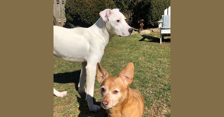 Photo of Finny, an American Pit Bull Terrier, American Bulldog, Beagle, Australian Cattle Dog, and Labrador Retriever mix in Alabama, USA