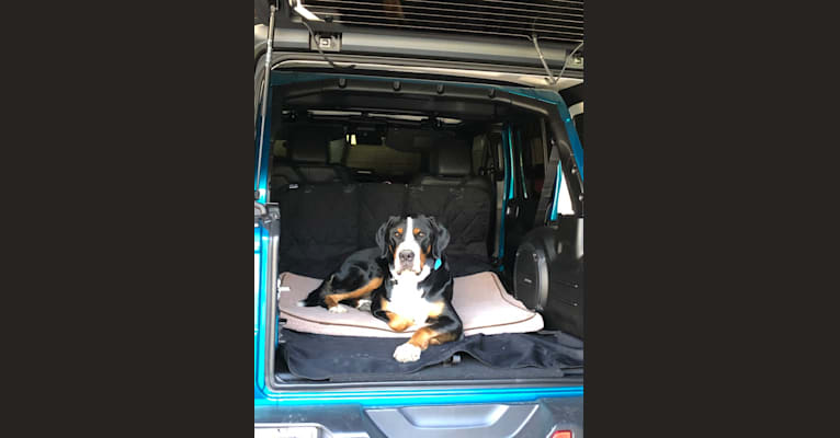 Photo of Bruno, a Greater Swiss Mountain Dog  in Frenchtown, NJ, USA
