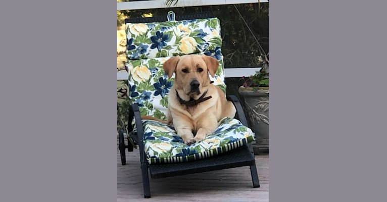 Photo of Legends Diamond in the Rock, Rocky, a Labrador Retriever  in Bruce, MS, USA