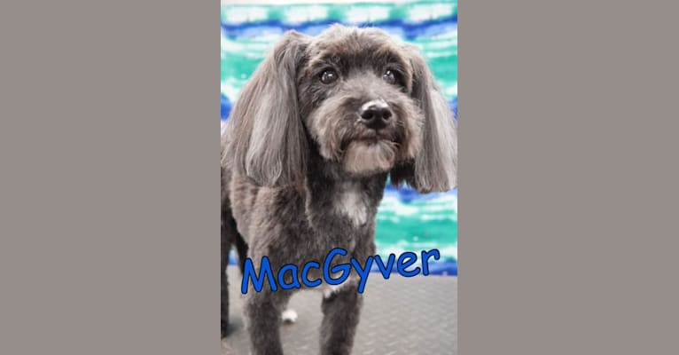 Photo of MacGyver, a Havapoo (18.2% unresolved)
