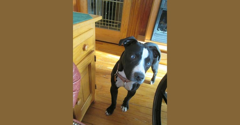 Photo of Bella Notte, an American Pit Bull Terrier, American Staffordshire Terrier, Boxer, and Mixed mix in Schenectady, New York, USA