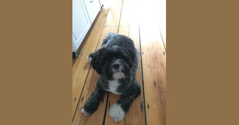 Photo of Owen, a Shih Tzu, Pomeranian, Poodle (Small), and Lhasa Apso mix