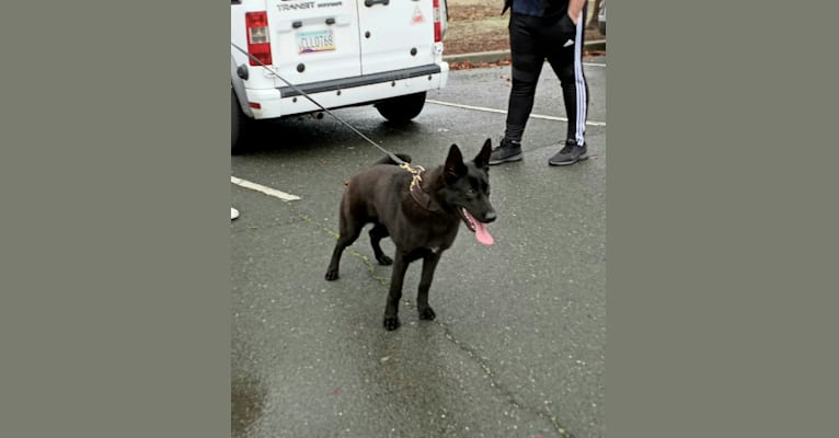 Photo of Reaper, a Belgian Shepherd  in San Francisco, CA, USA