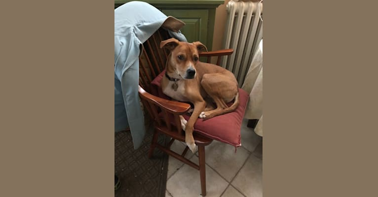 Photo of Watson, a Boston Terrier, Chihuahua, German Shepherd Dog, and Pug mix in Georgia, USA