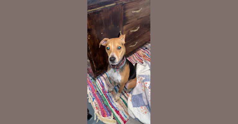 Photo of Campbell, a Rat Terrier, Beagle, American Pit Bull Terrier, and Mixed mix in Mississippi, USA