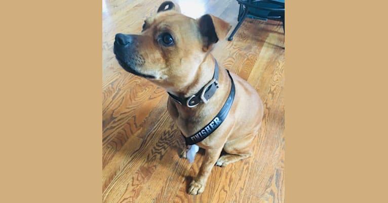 Photo of Tonka, a Staffordshire Bull Terrier  in Minnesota, USA
