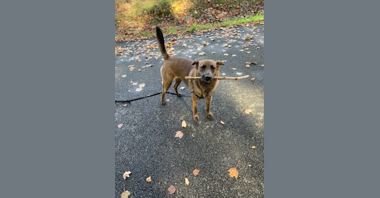 Photo of Gracie, an American Pit Bull Terrier, Labrador Retriever, Chow Chow, Siberian Husky, German Shepherd Dog, and Mixed mix in Goldsboro, North Carolina, USA