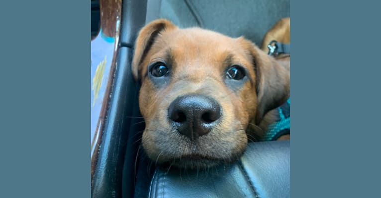 Photo of Tug, a Chow Chow, American Pit Bull Terrier, Chihuahua, American Bulldog, and Mixed mix in St. Croix, U.S. Virgin Islands