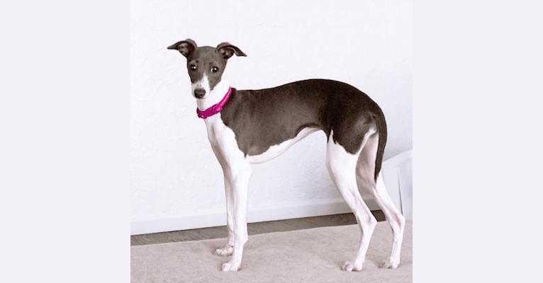 Photo of Henley, an Italian Greyhound  in Bakersfield, California, USA