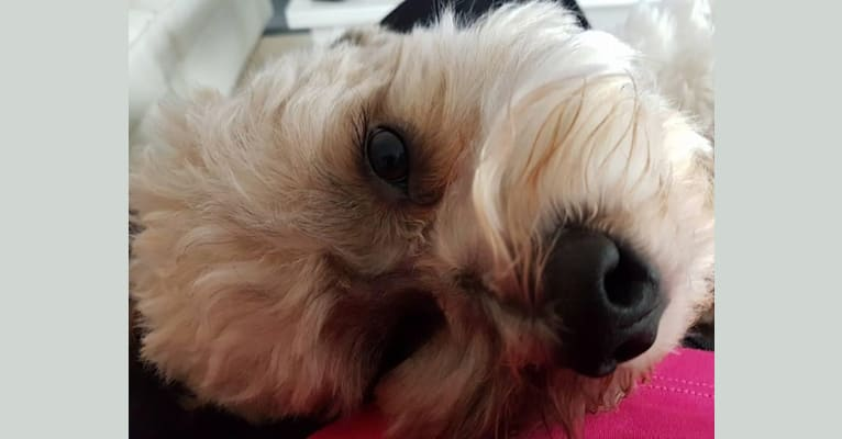 Photo of Buddy, a Lhasa Apso and Bichon Frise mix in Alberta, Canada